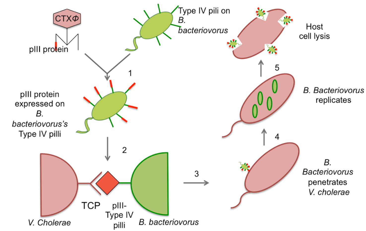 Designed a biologically engineered solution to combat anti-biotic resistant cholera     We stole the targeting mechanism from naturally occurring bacteriophages (a type of virus) to specifically target cholera   bacteria. We attached the targeting mechanism onto a bacterium that eats other gram negative bacteria, thereby creating a naturally occurring anti-bacterial therapeutic.
