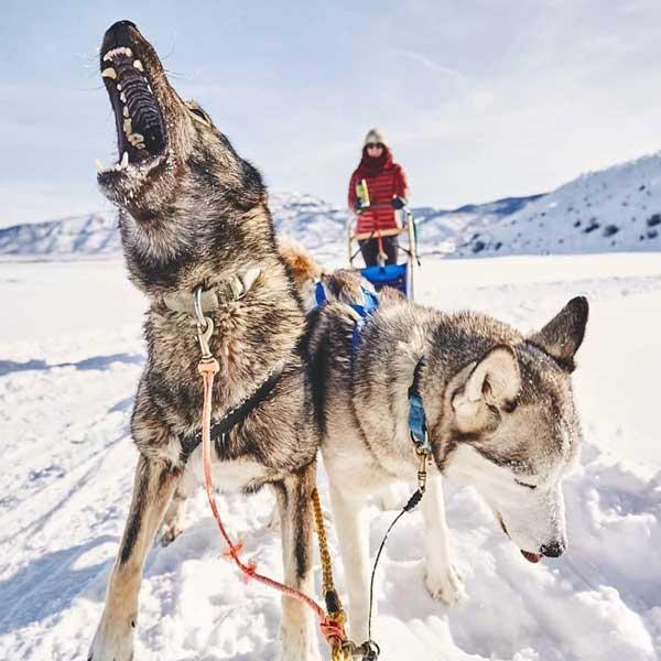 Luna Lobos Dog Sledding - dog howling