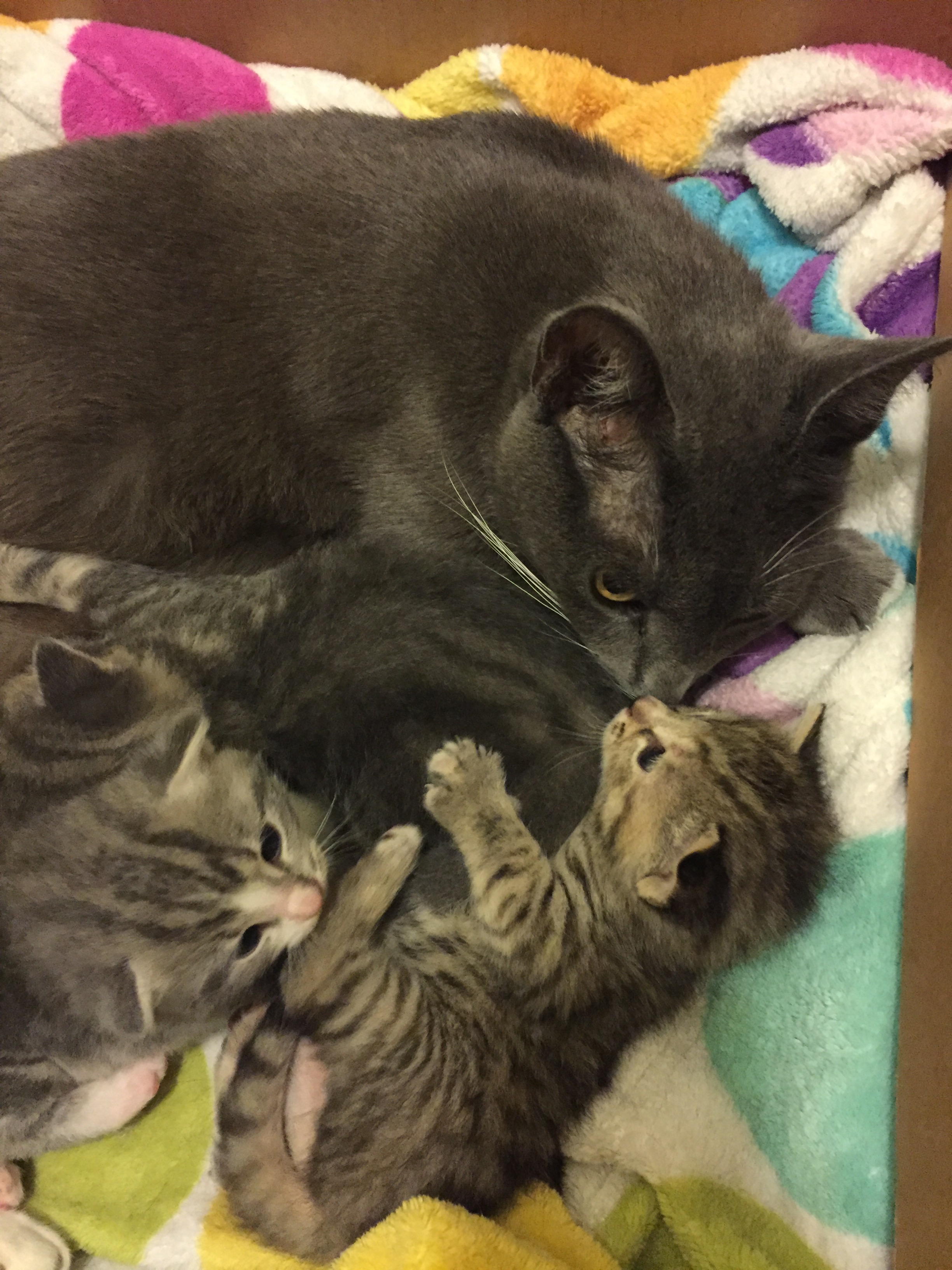 They are all beginning to play, and wrestle its uncoordinated and adorable