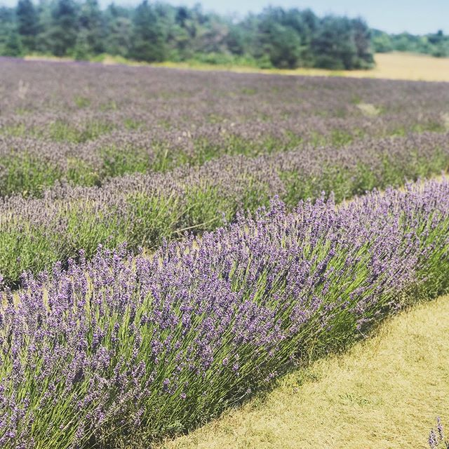 Stop and smell the lavender! #vacation #doorcounty #farm