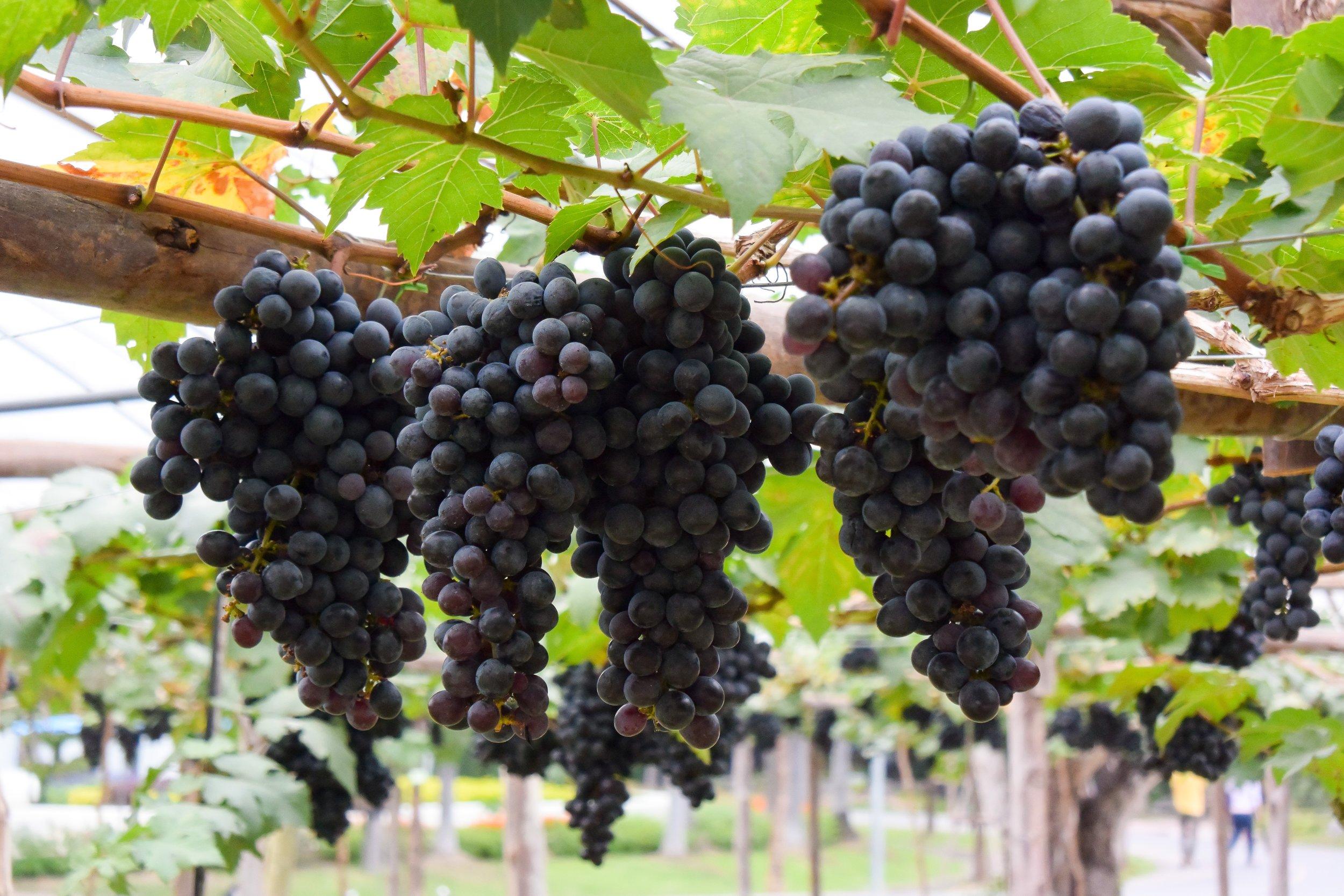 Crete Grapes.jpg