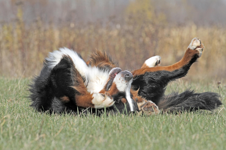 Bernese Mountain Dog Rolling