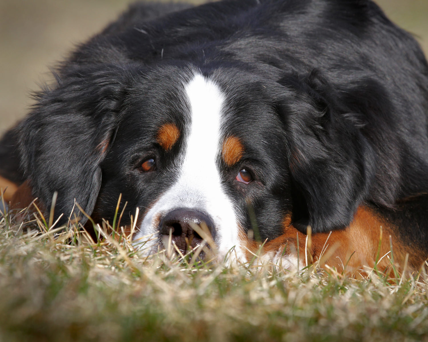 Bernese Mountain Dog with head in grass.