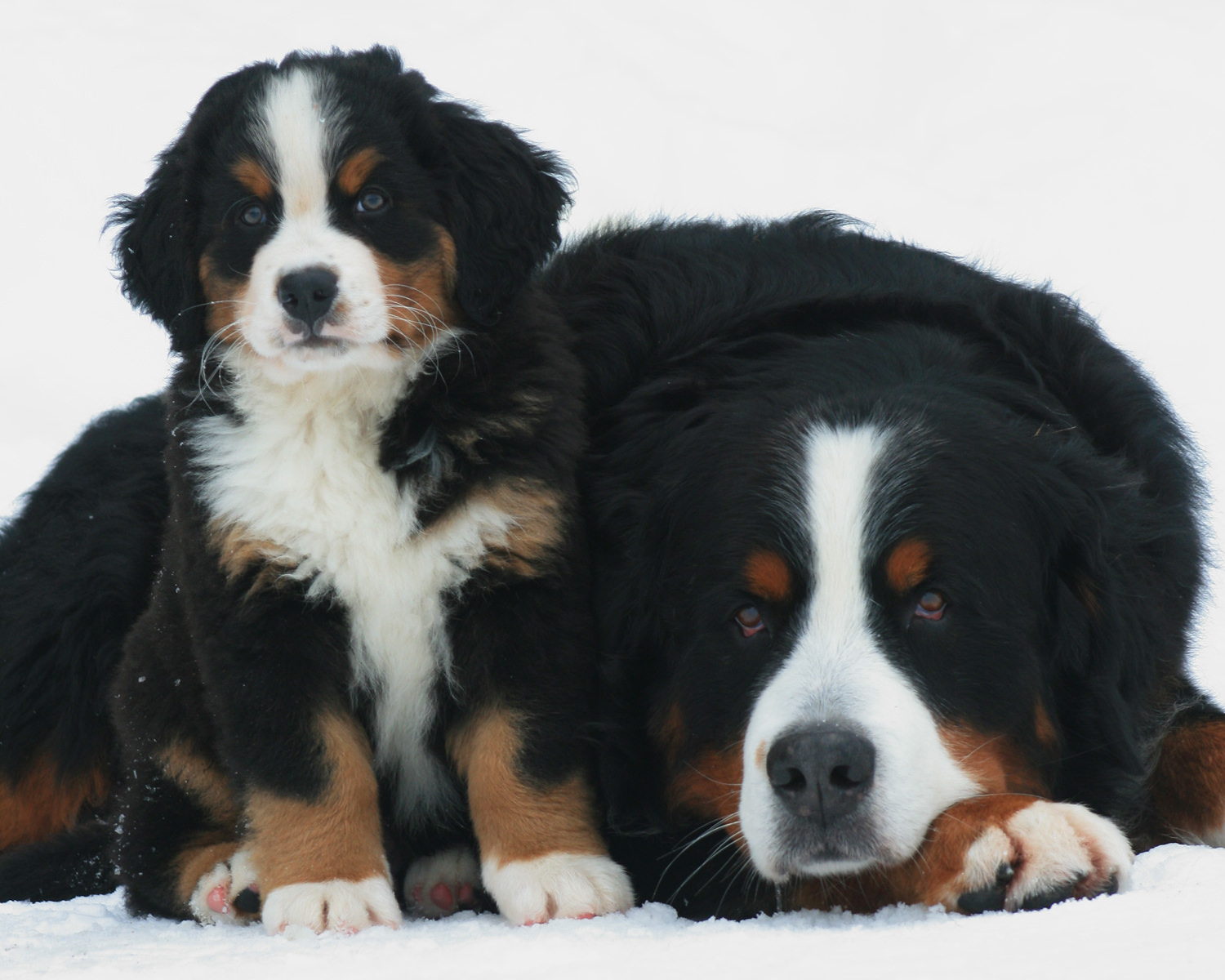 Bernese Mountain Dog and puppy in the snow.