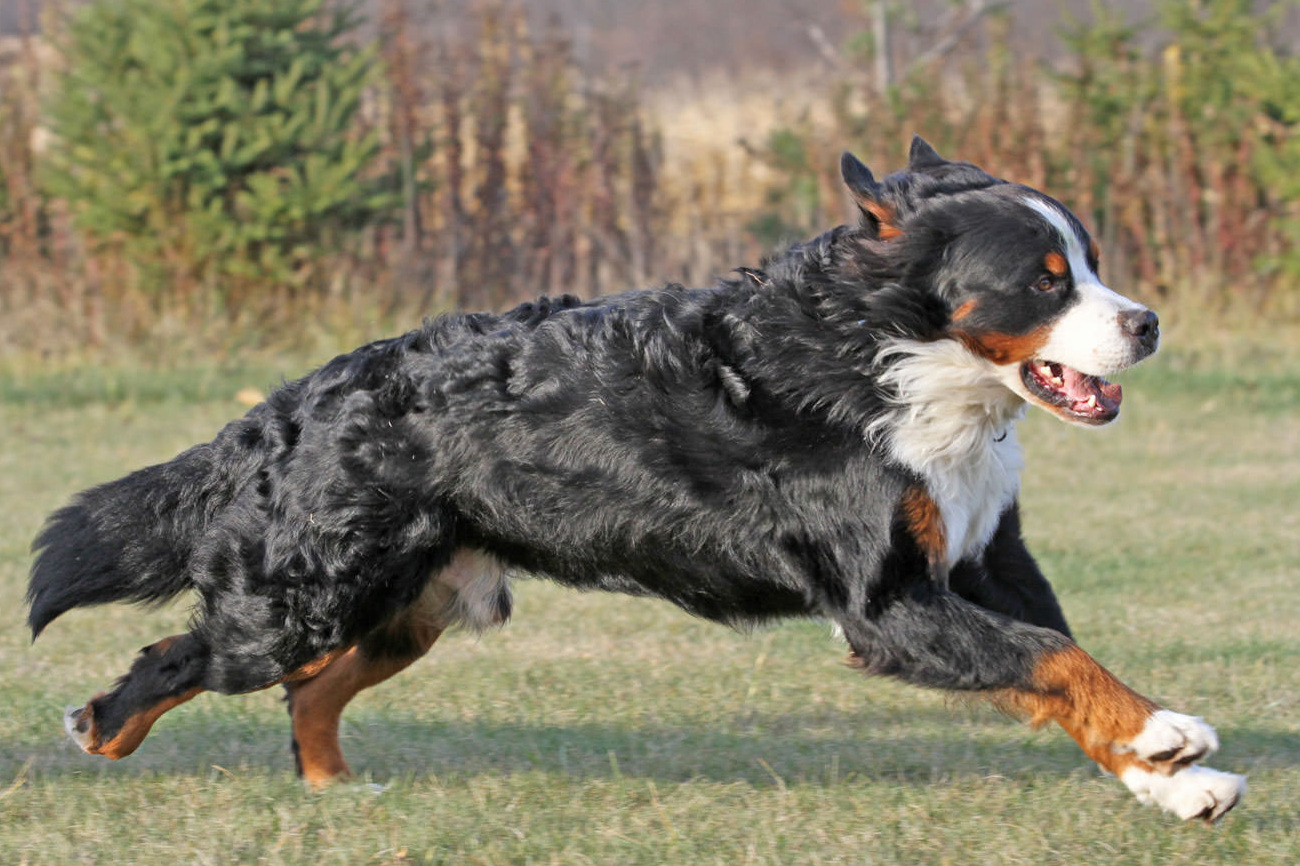 Our Mission: - To increase the genetic diversity of the Bernese Mountain Dog by out-crossing the breed with non-Bernese Mountain Dogs.