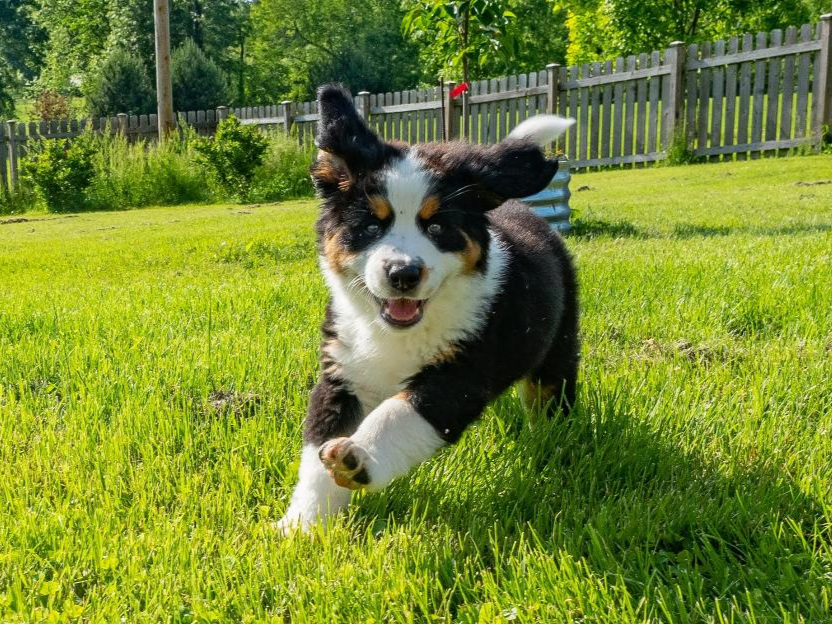 Our Vision: - To produce Bernese Mountain Dogs in type and temperament with high genetic diversity, increased longevity, improved vitality, and overall improved health over multiple generations.