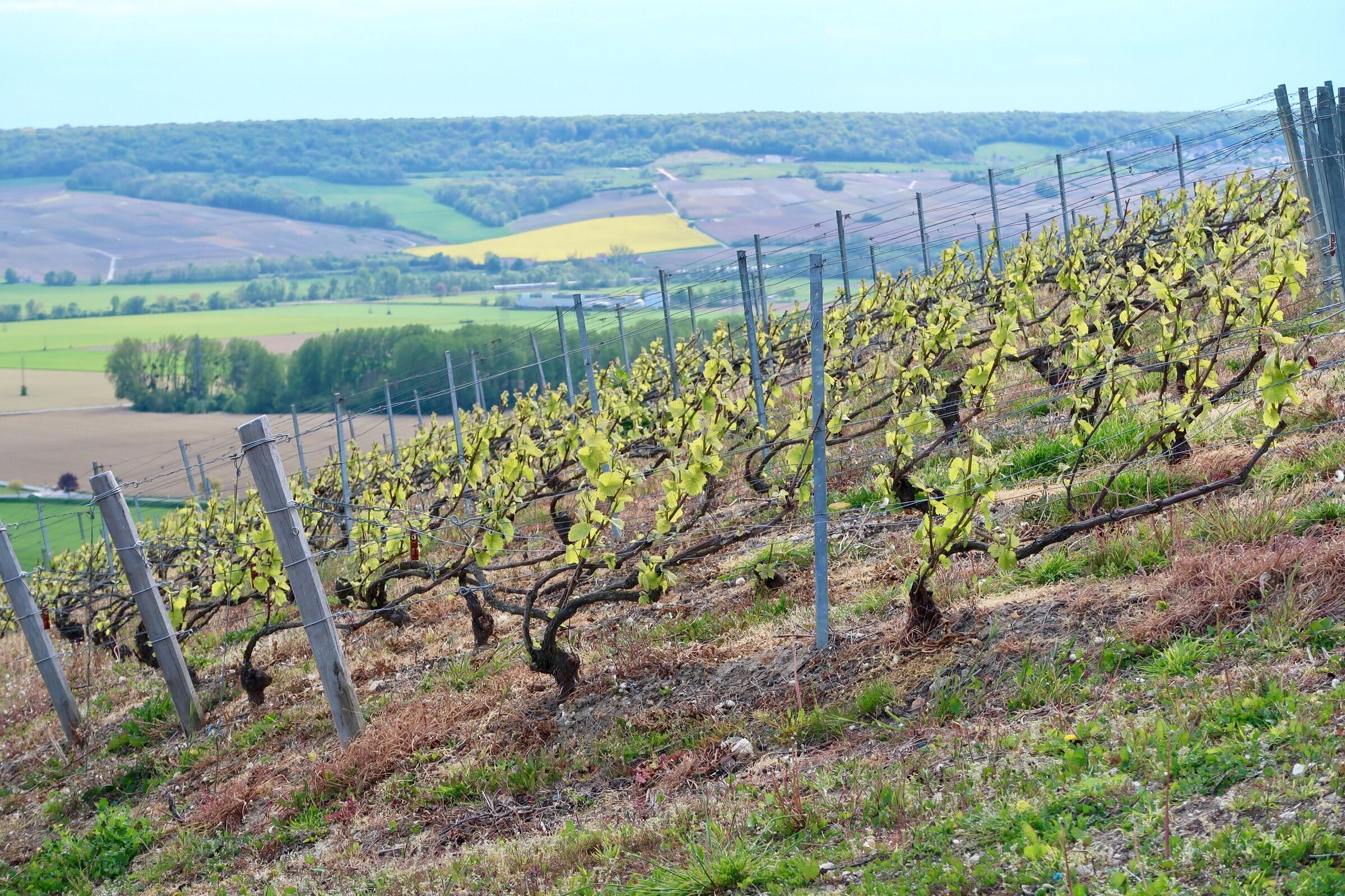 Hautvillers vines - where the process begins...