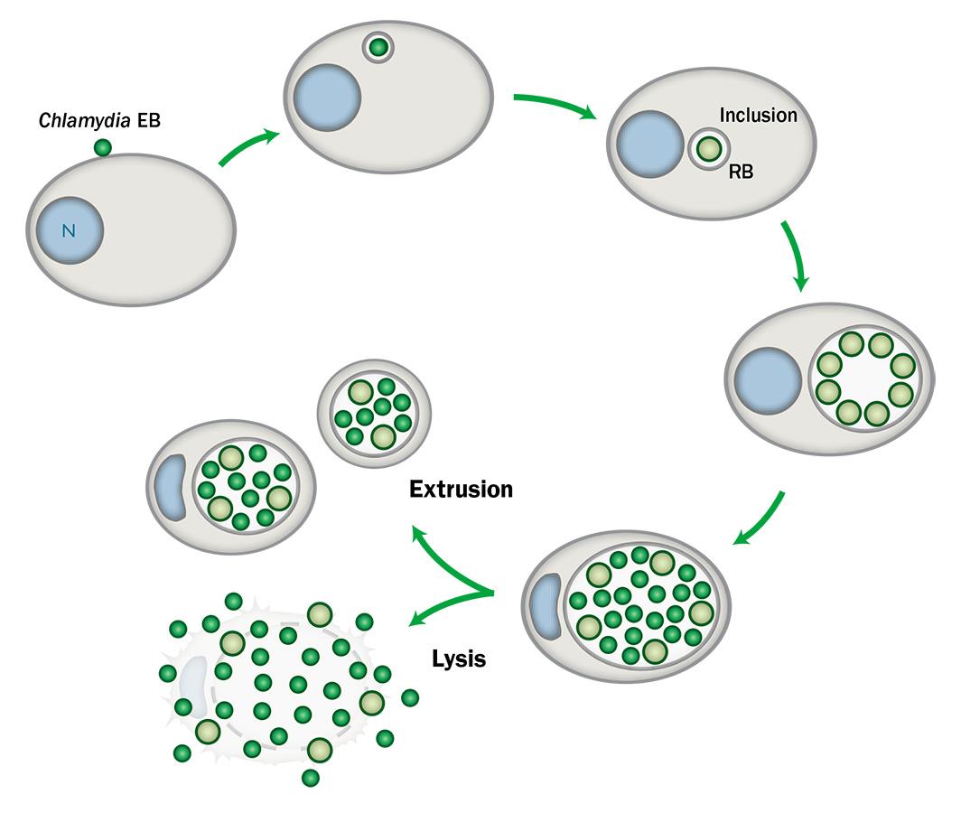 The  Chlamydia  developmental cycle