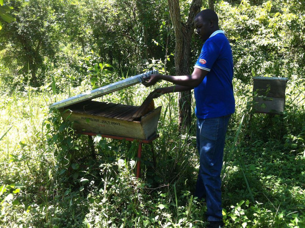 Ojok tends bees