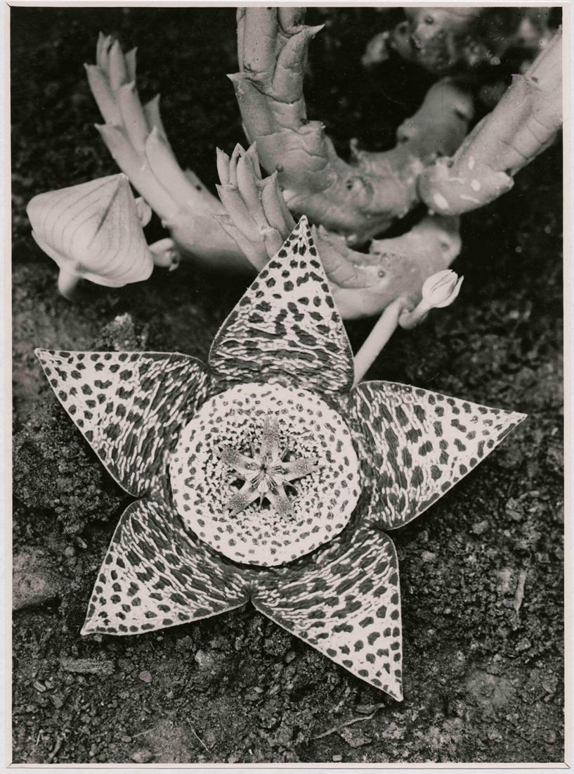 Stapedia variegata. Asclepiadaceae, 1923, © Albert Renger-Patzsch