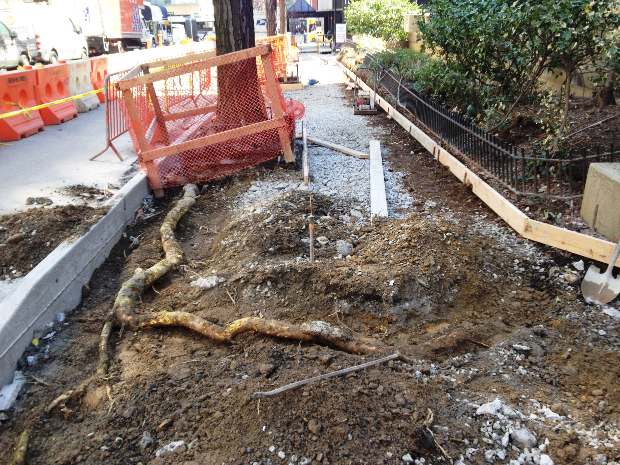 Tree protection - Big Root Under Sidewalk GT Heading for shrub bed.jpg
