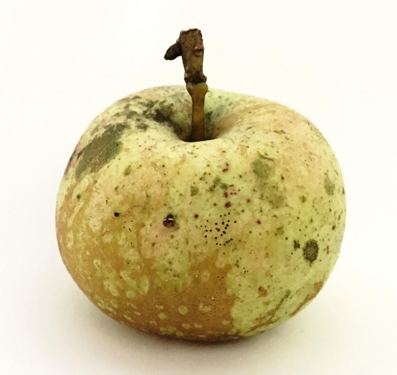 Russet Cow Apple