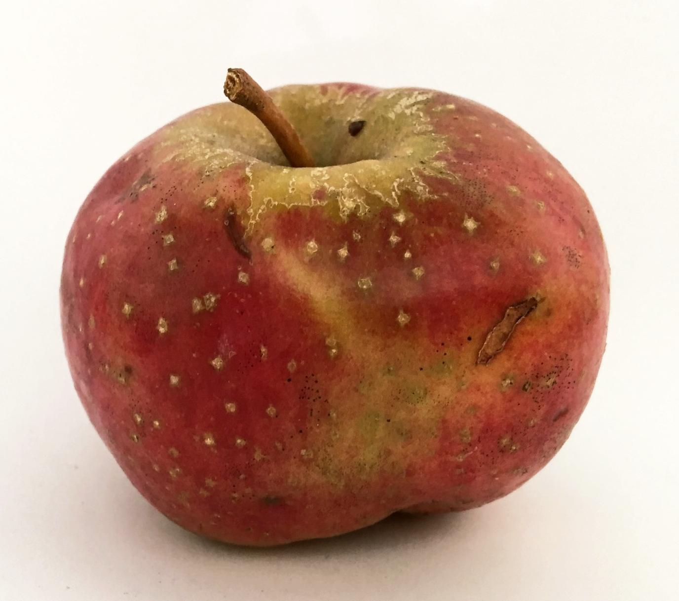 Swiss Limbertwig Apple