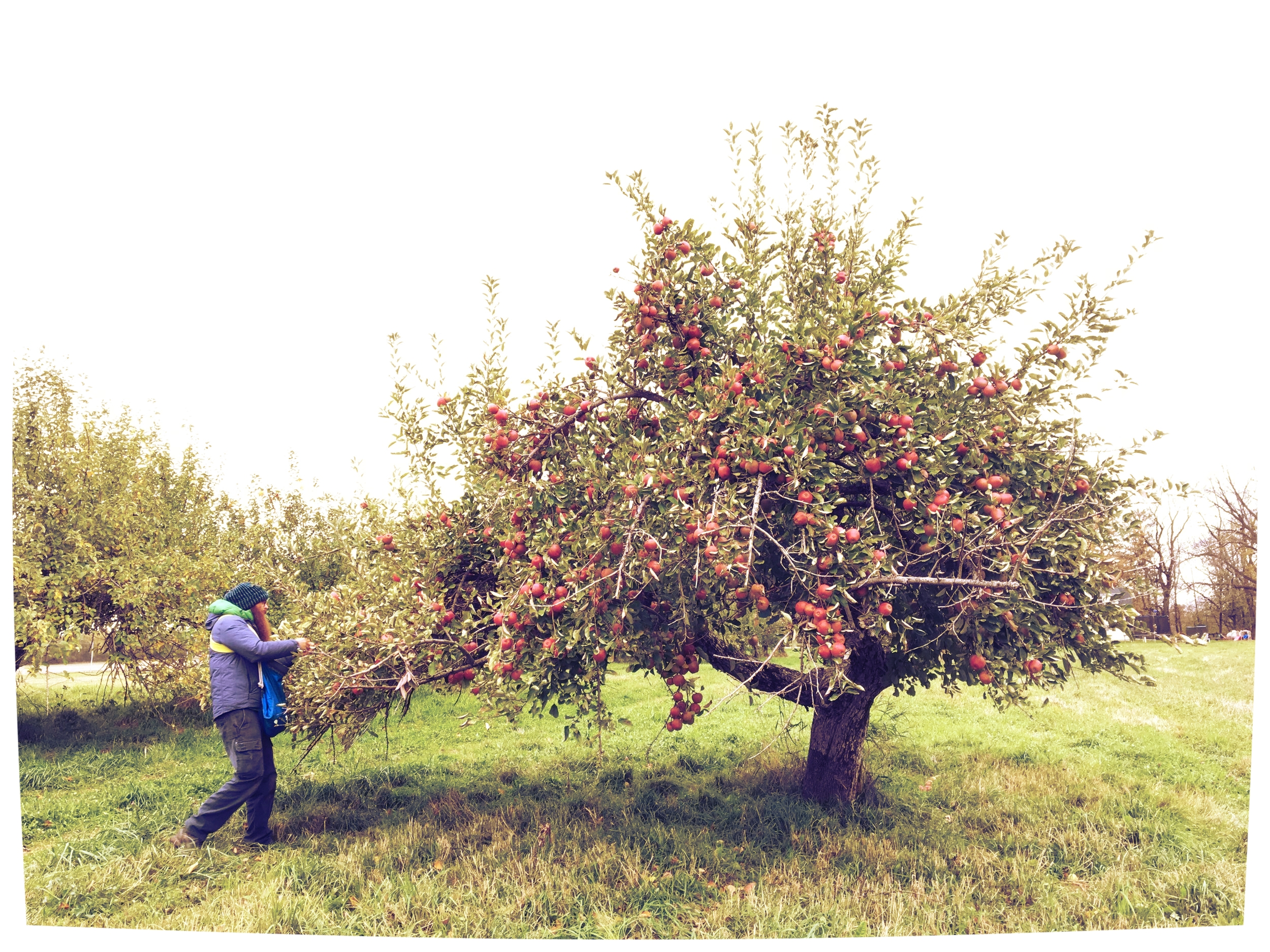 Above:  Bergere picking fruit from a Forest Winter apple tree planted in the 1930s.