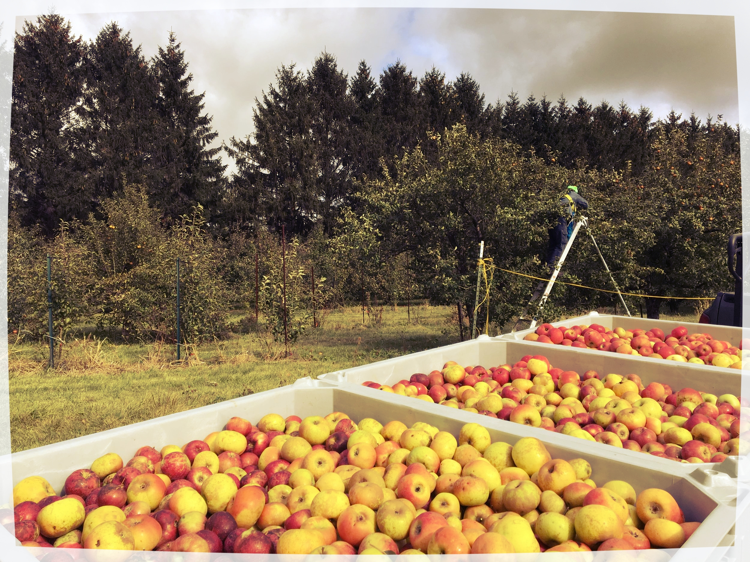 Above:  Nearly full bins of apples