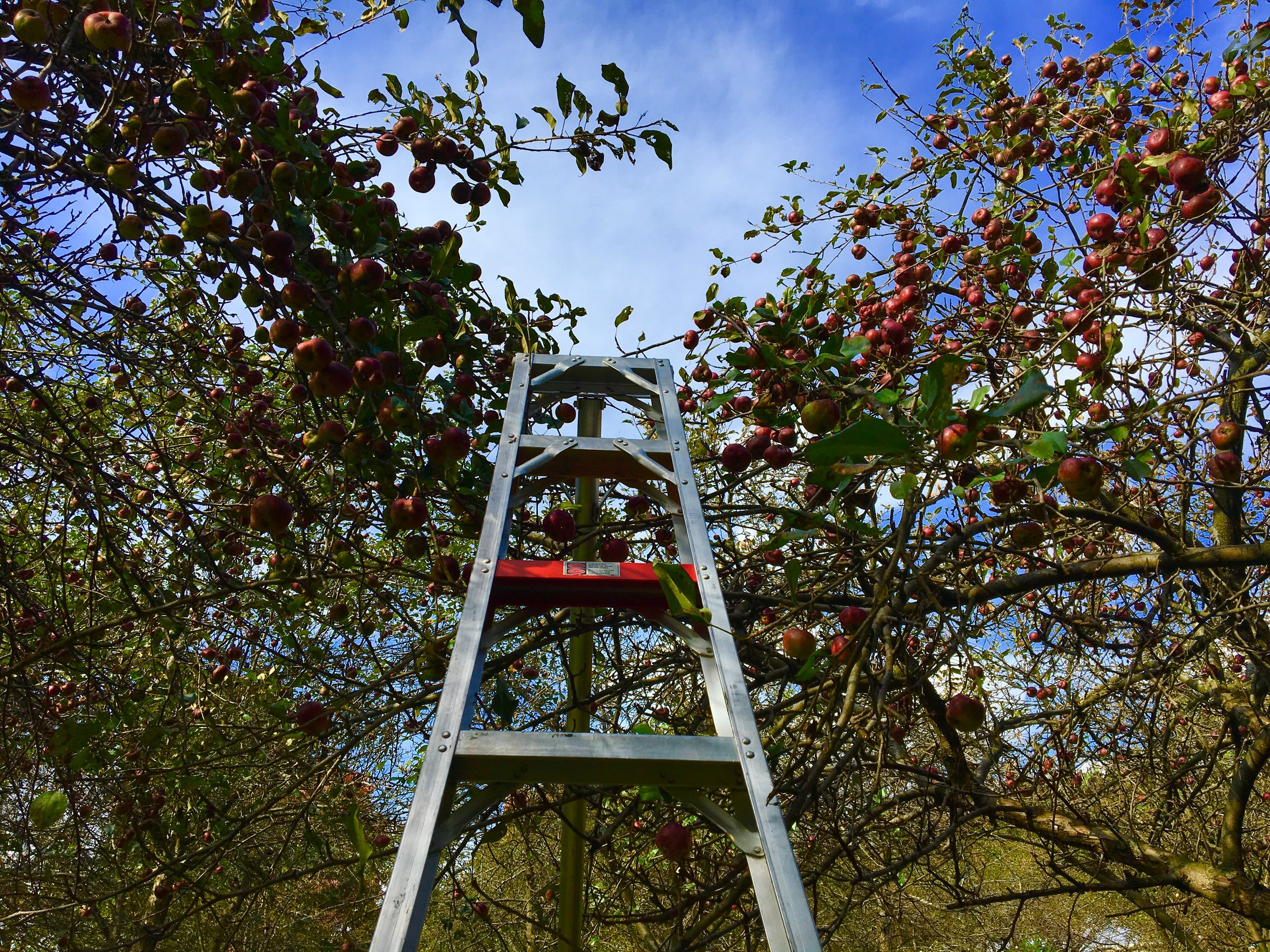 Above: Metaphorical ladder to the sky (and to apples)