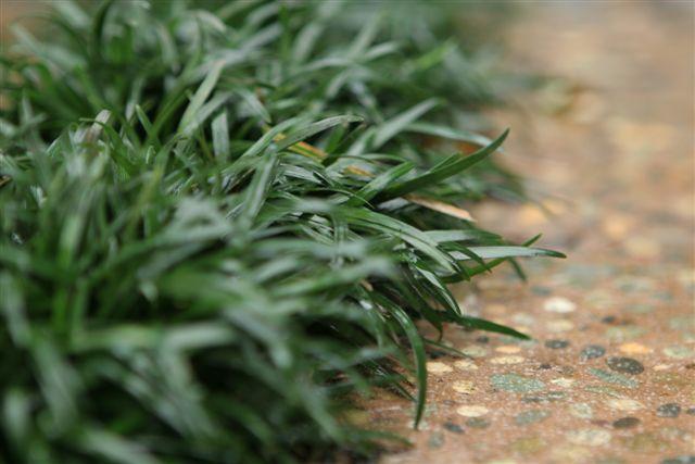 """Ophiopogon japonicus """"Nana"""" (Dwarf Mondo Grass)"""