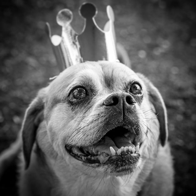 Don't you wish you felt this special everyday! Little prince! #DogPortrait #PetPortrait #PetPhotography #DogPhotography #DogBirthdayParty #ZilkerPark #BlackandWhitePhotography #BandWPhotography #BlackandWhite #Puggle #PugglesofInstagram #LittlePrince