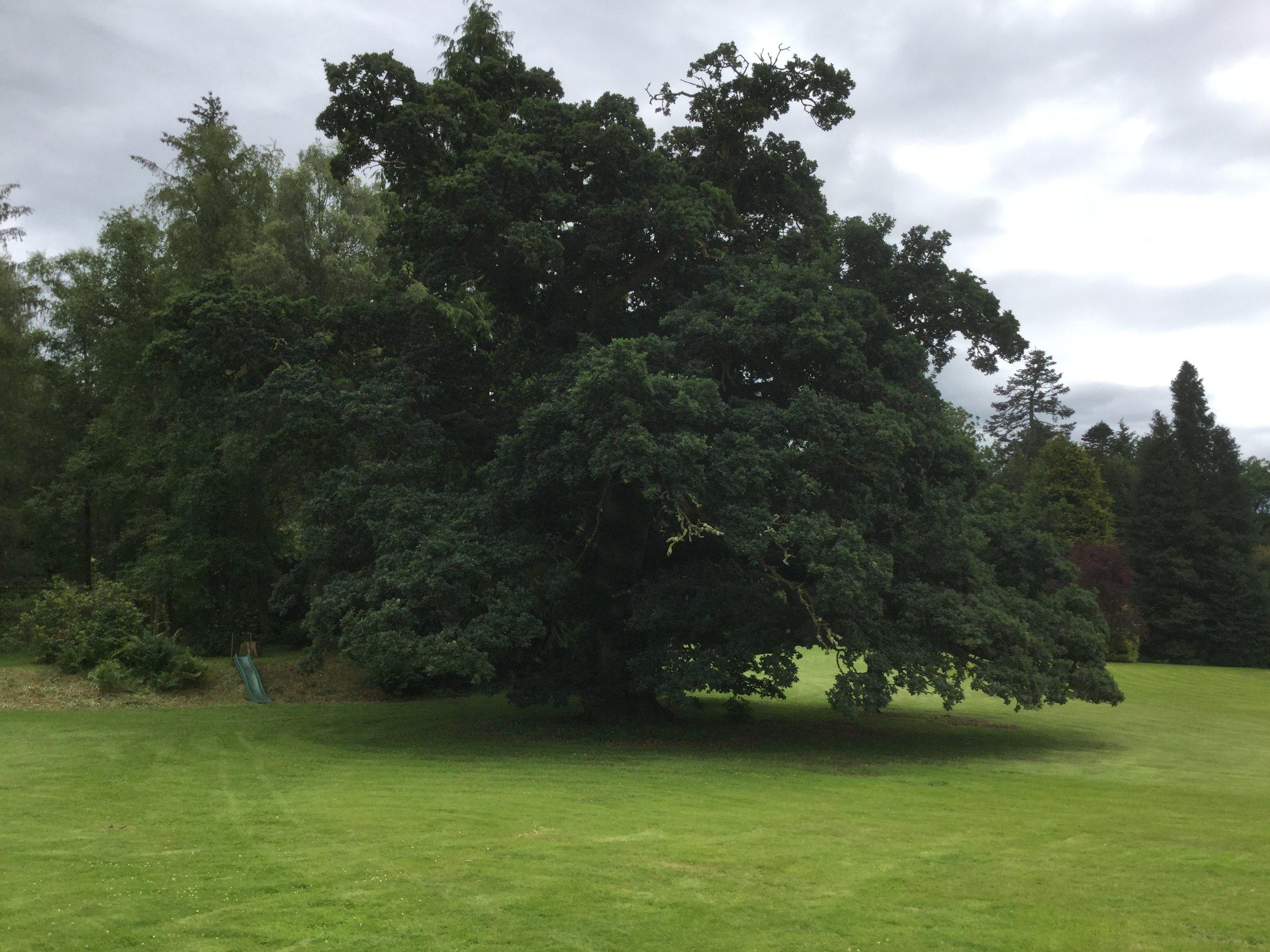 Veteran Oak.JPG