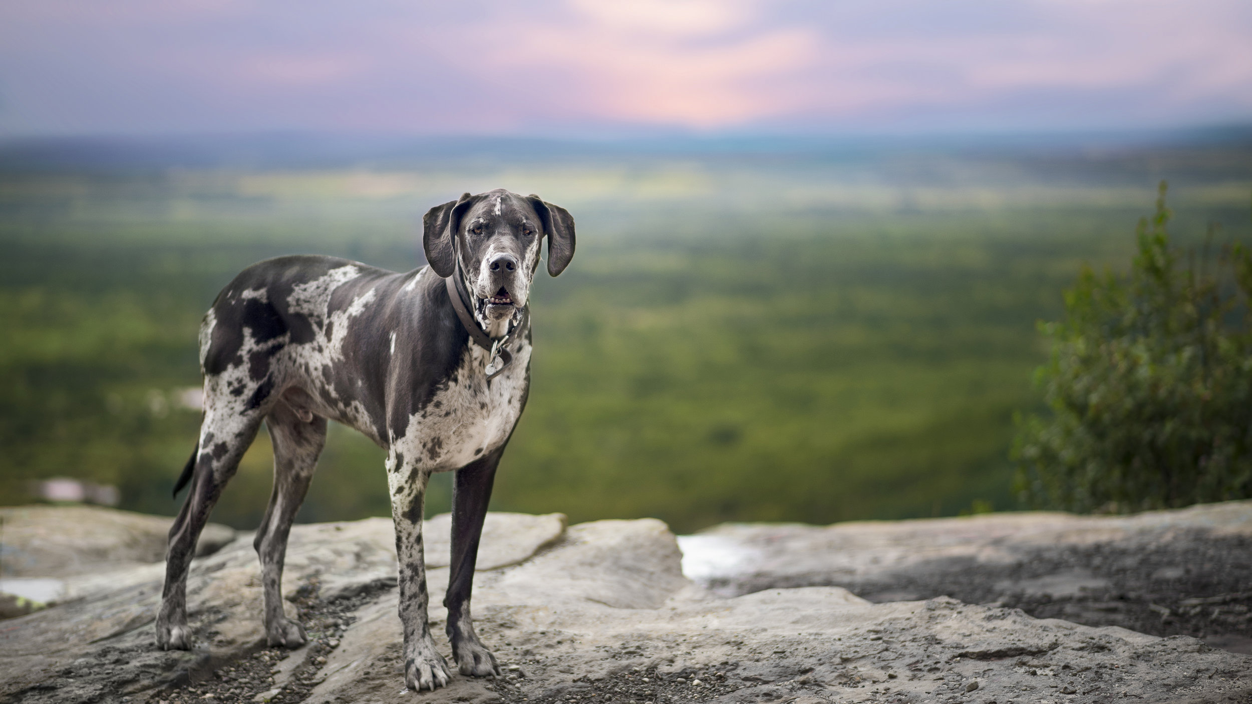 Great_Dane_Dog_Photo_Vancouver.jpg