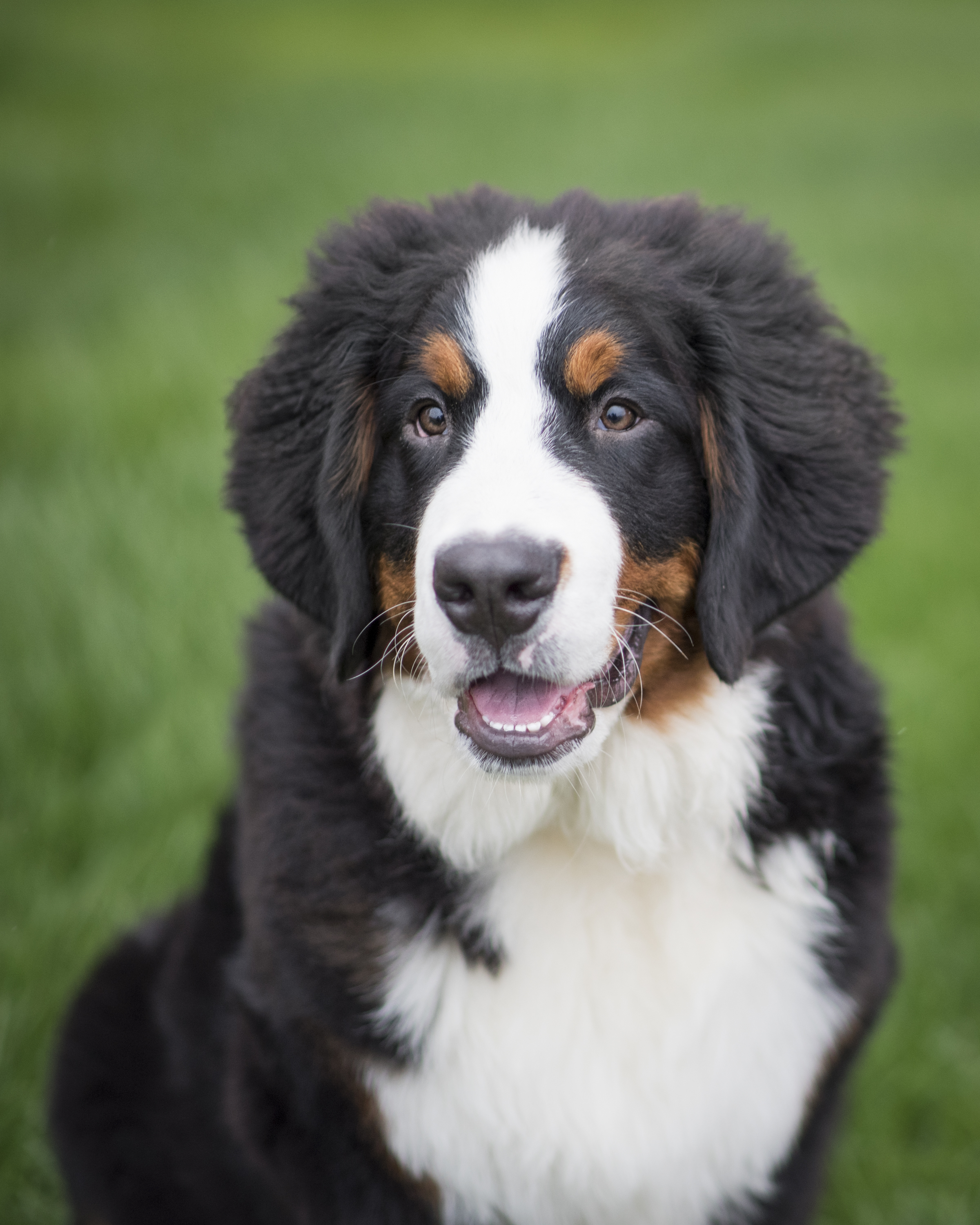 Bernese_Mountain_Dog_Puppy_Vancouver.jpg