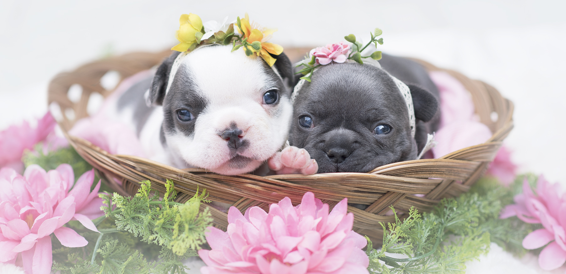 Frenchies_puppies_photo_Vancouver.jpg