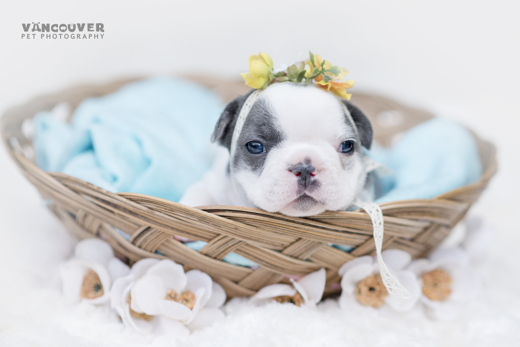 French_bulldog_puppy_photo_Vancouver-3.jpg