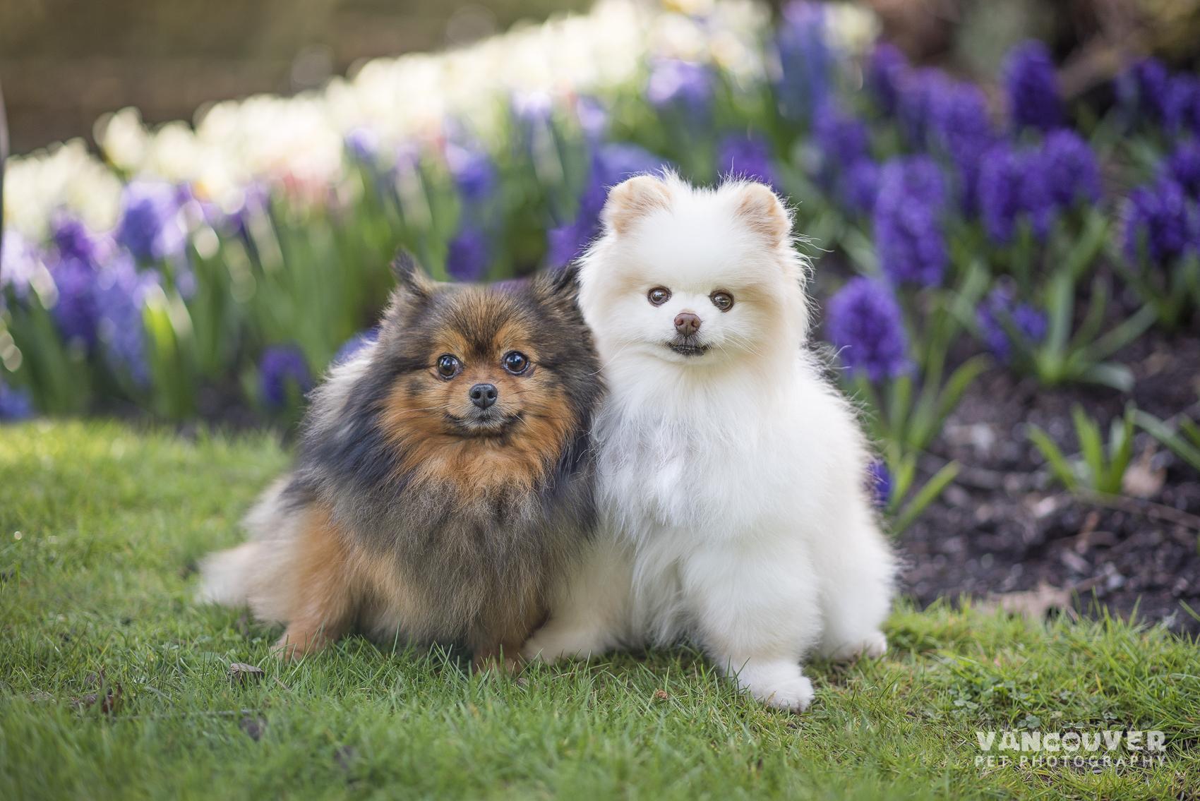 Pomeranian-dog-photography-vancouver.jpg