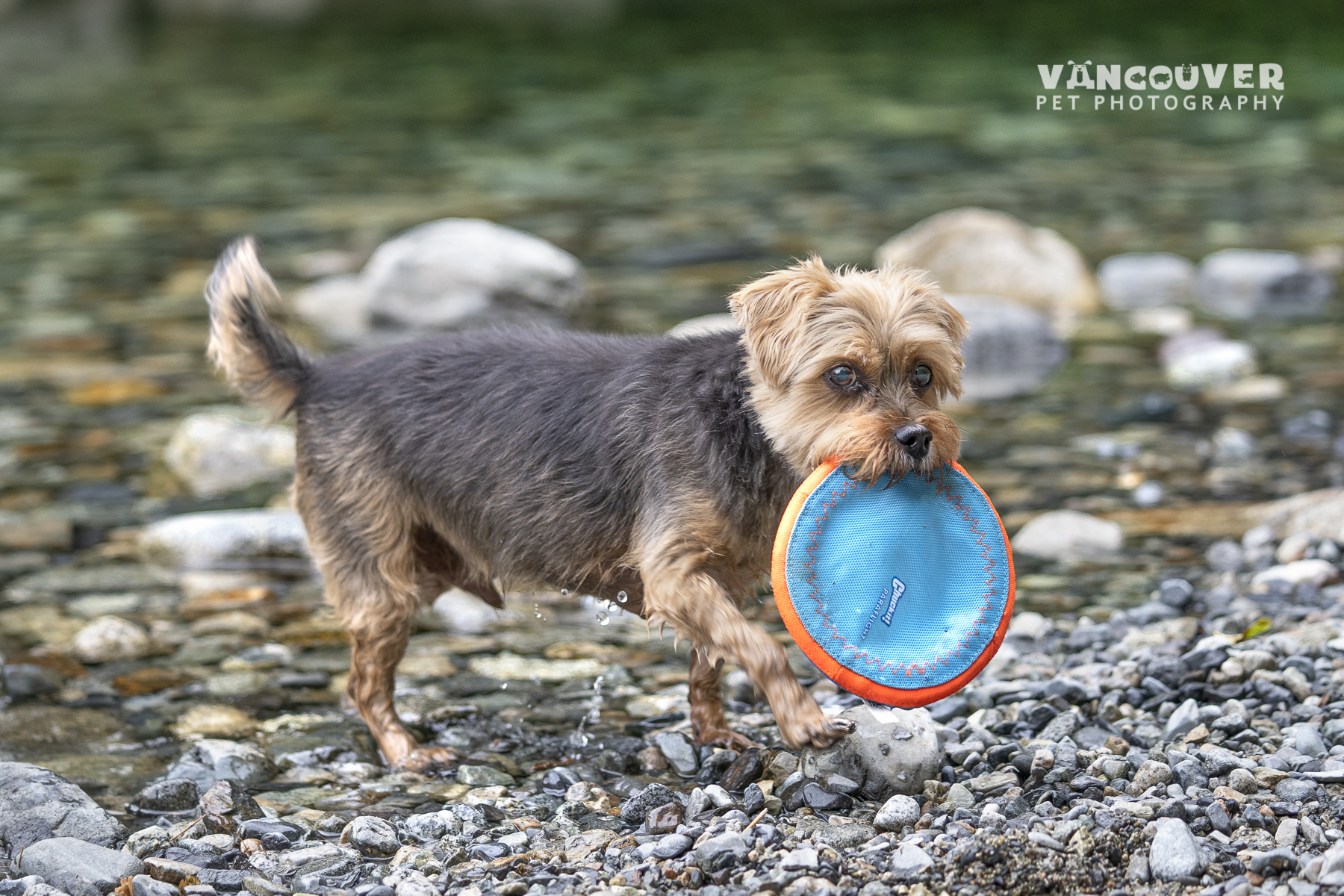 senior-dog-playing-vancouver.jpg
