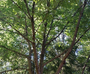 davey-tree-ash-tree-replacements (1).jpeg