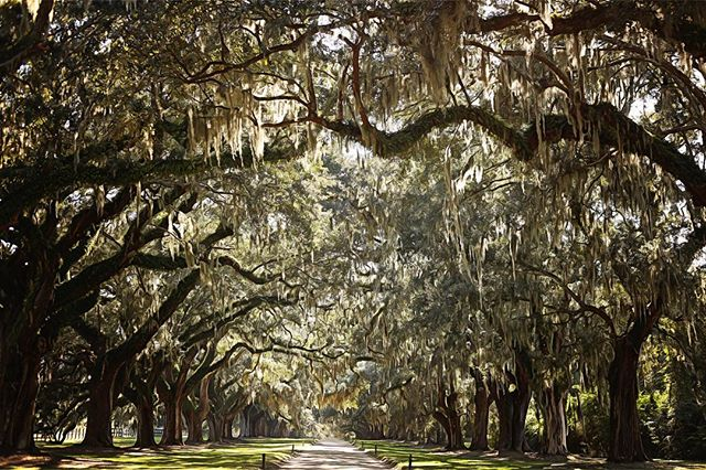 I made a mad dash into the road to get this shot. Nothing beats these trees. 🌲 : #dariaweedophotography #charleston #charlestonsc #southcarolina #photographer #landscapephotography #booneplantation #booneplantationcharleston #fallsession #november #travelphotography