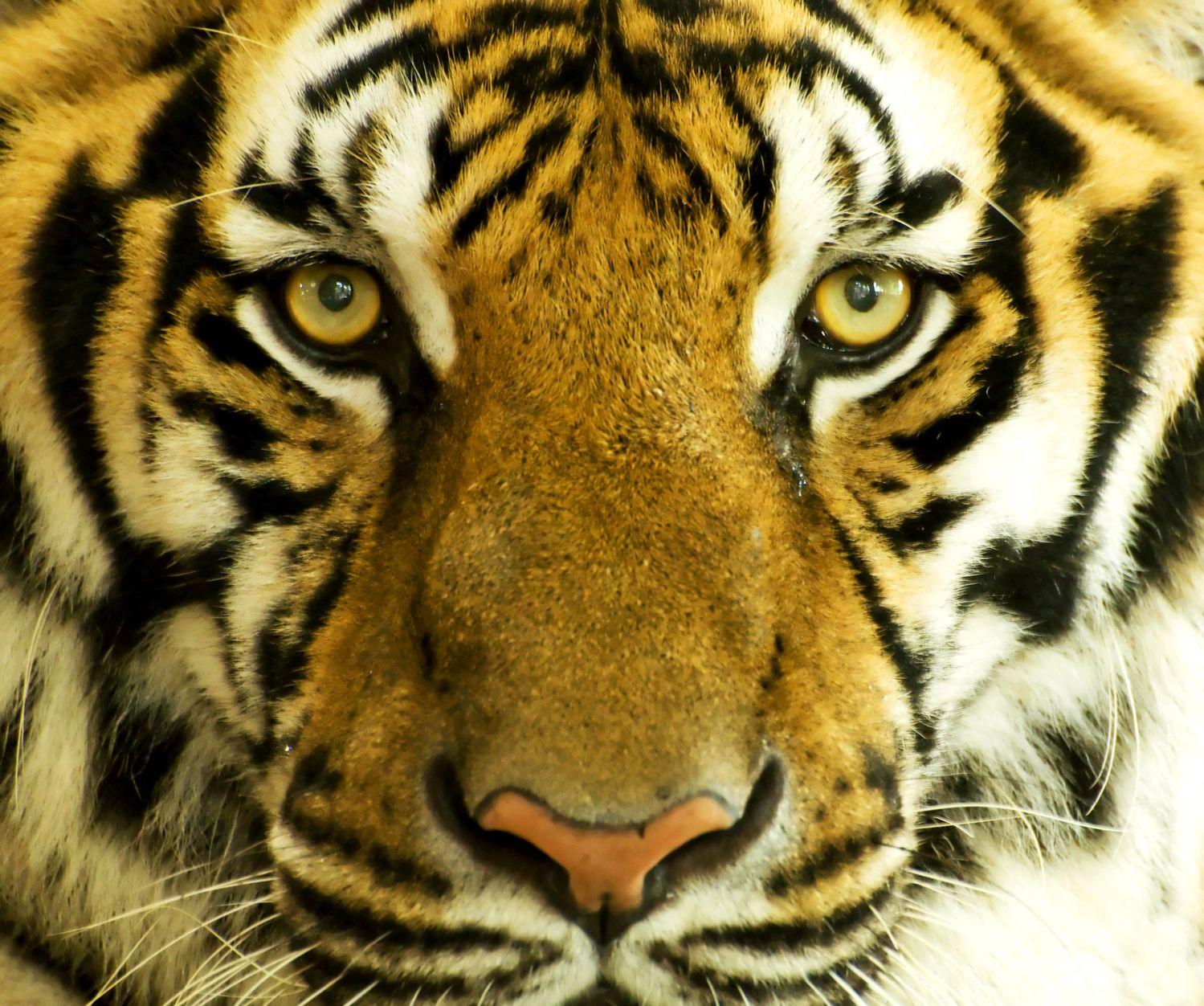 UYB-Tiger