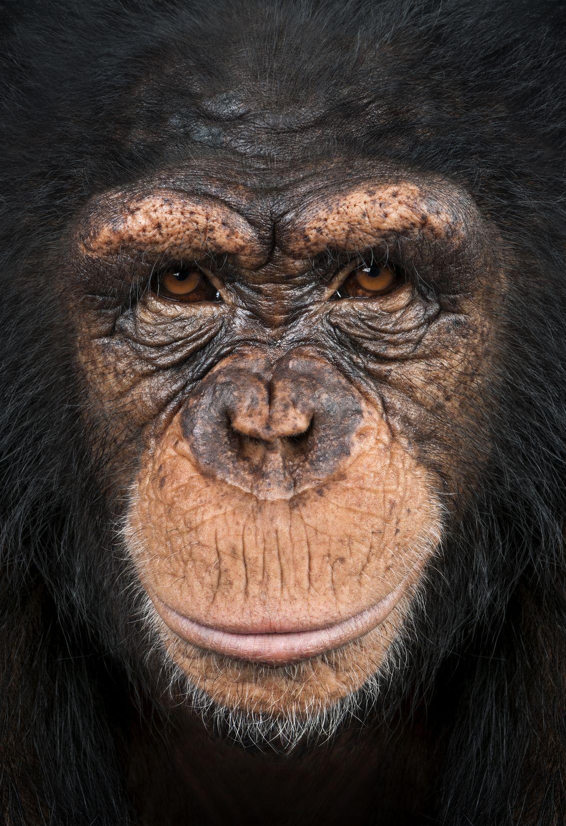 Chimp_20146738_ml.jpg