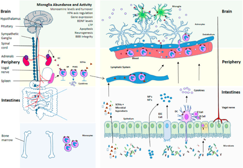 Schematic for microbiota regulation of   neuroinflammation   and HPA axis activity.