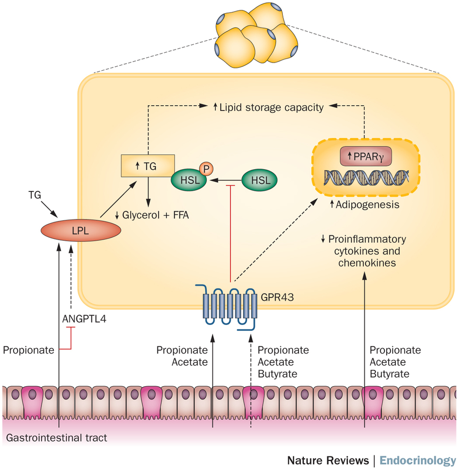 Short-chain fatty acids are in control of body weight & insulin sensitivity. Adapted from  Nature Reviews Endocrinology, 2015