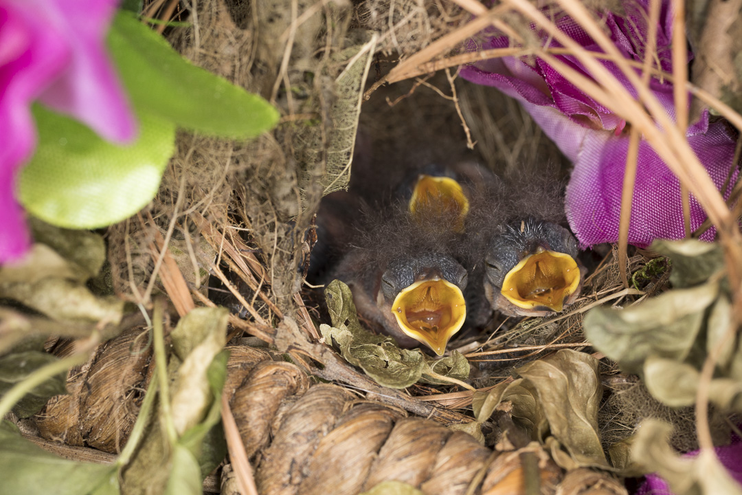 sparrowchicks