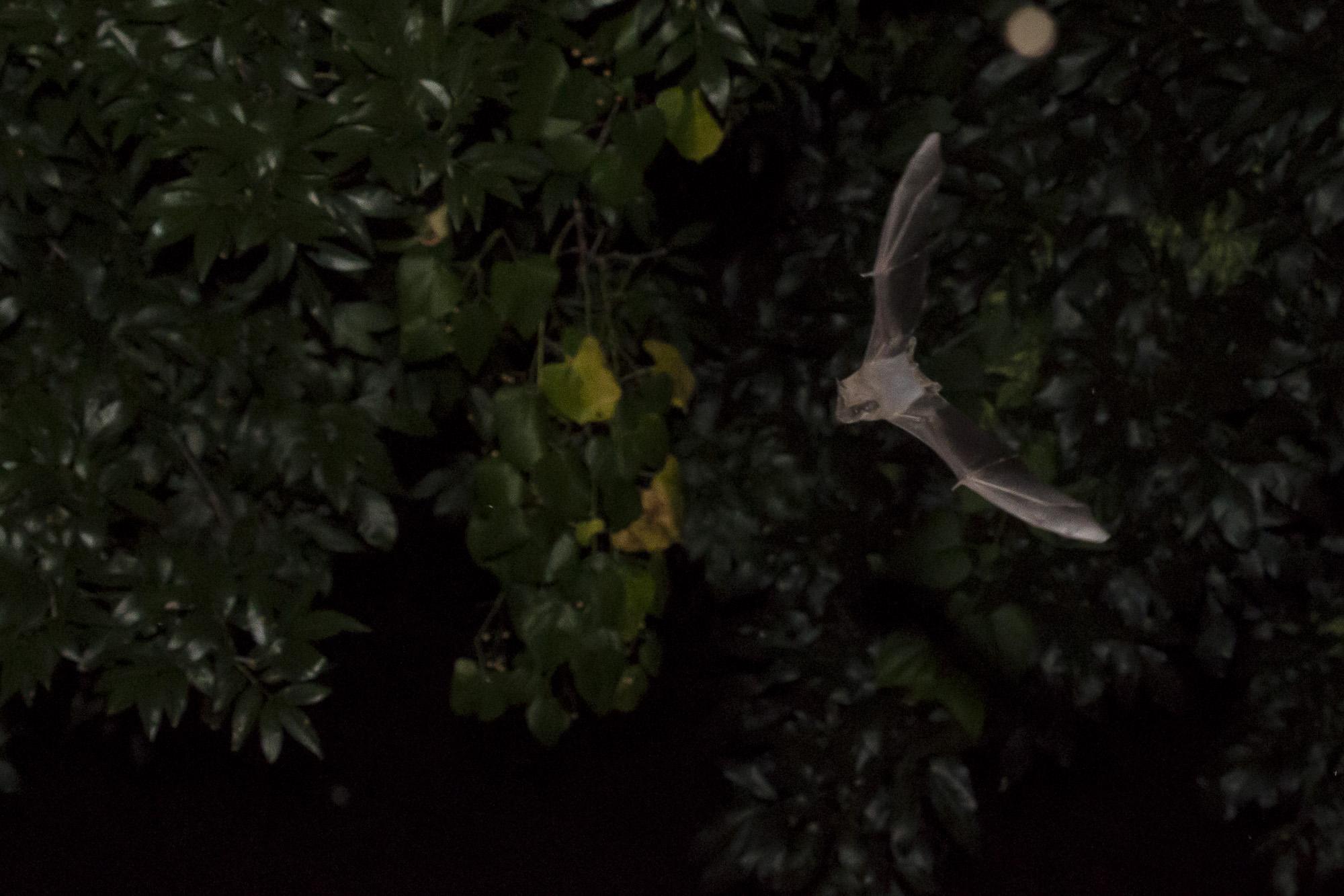 Bats_8.JPG