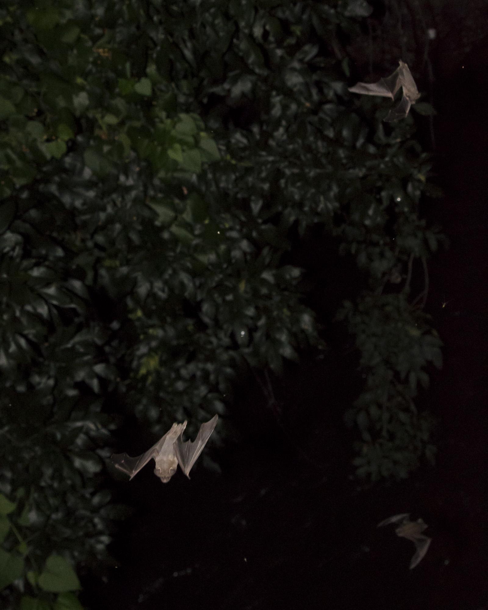 Bats_10.JPG