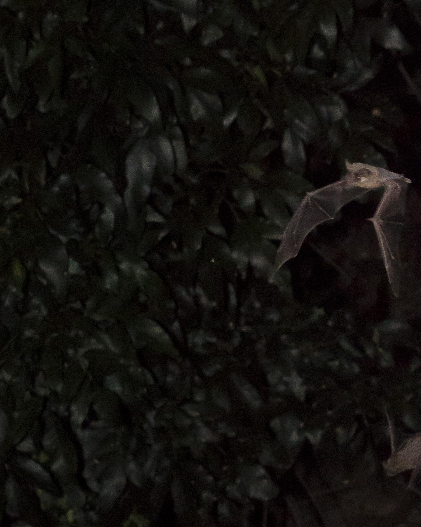Bats_17.JPG