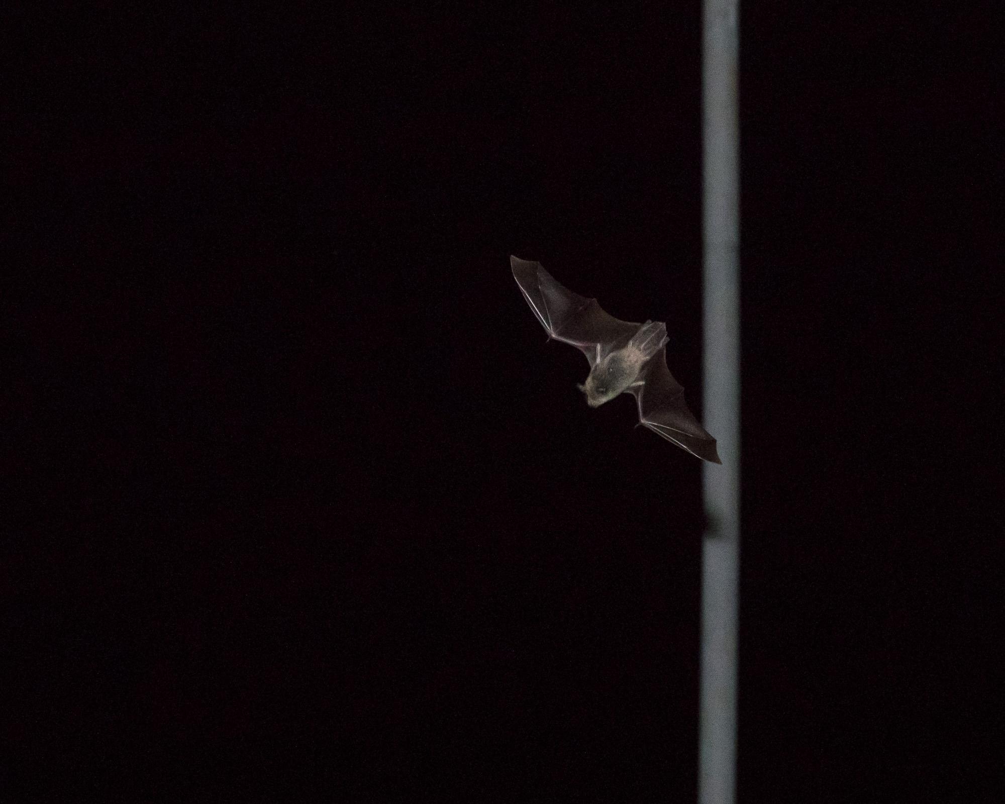 Bats_21.JPG