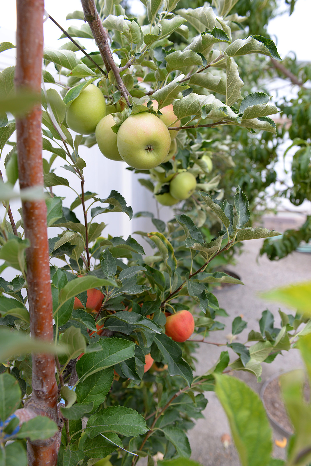 espalier-apple-tree