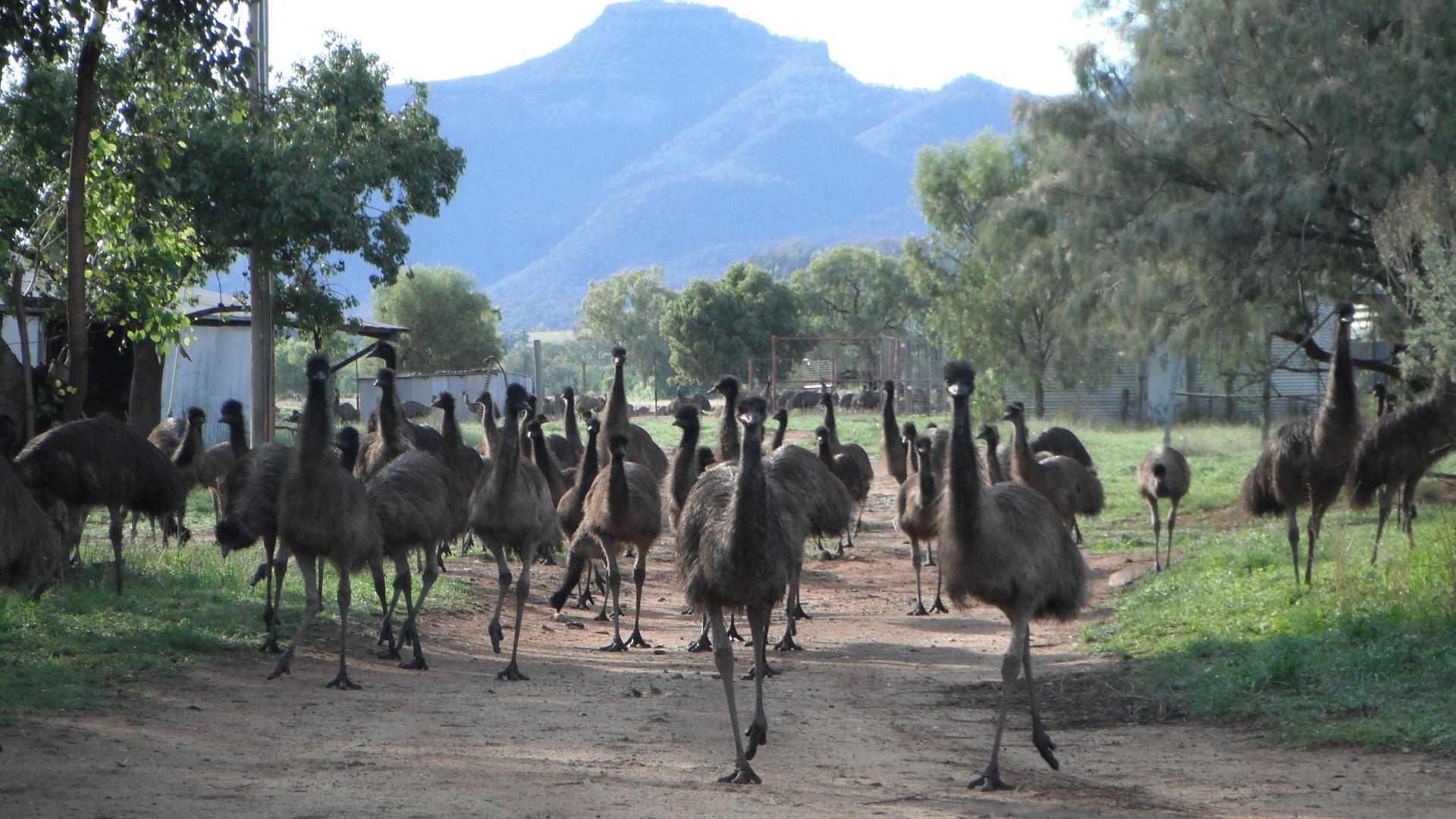 Visit My Farm Australia - Emu Logic, Tooraweenah NSW