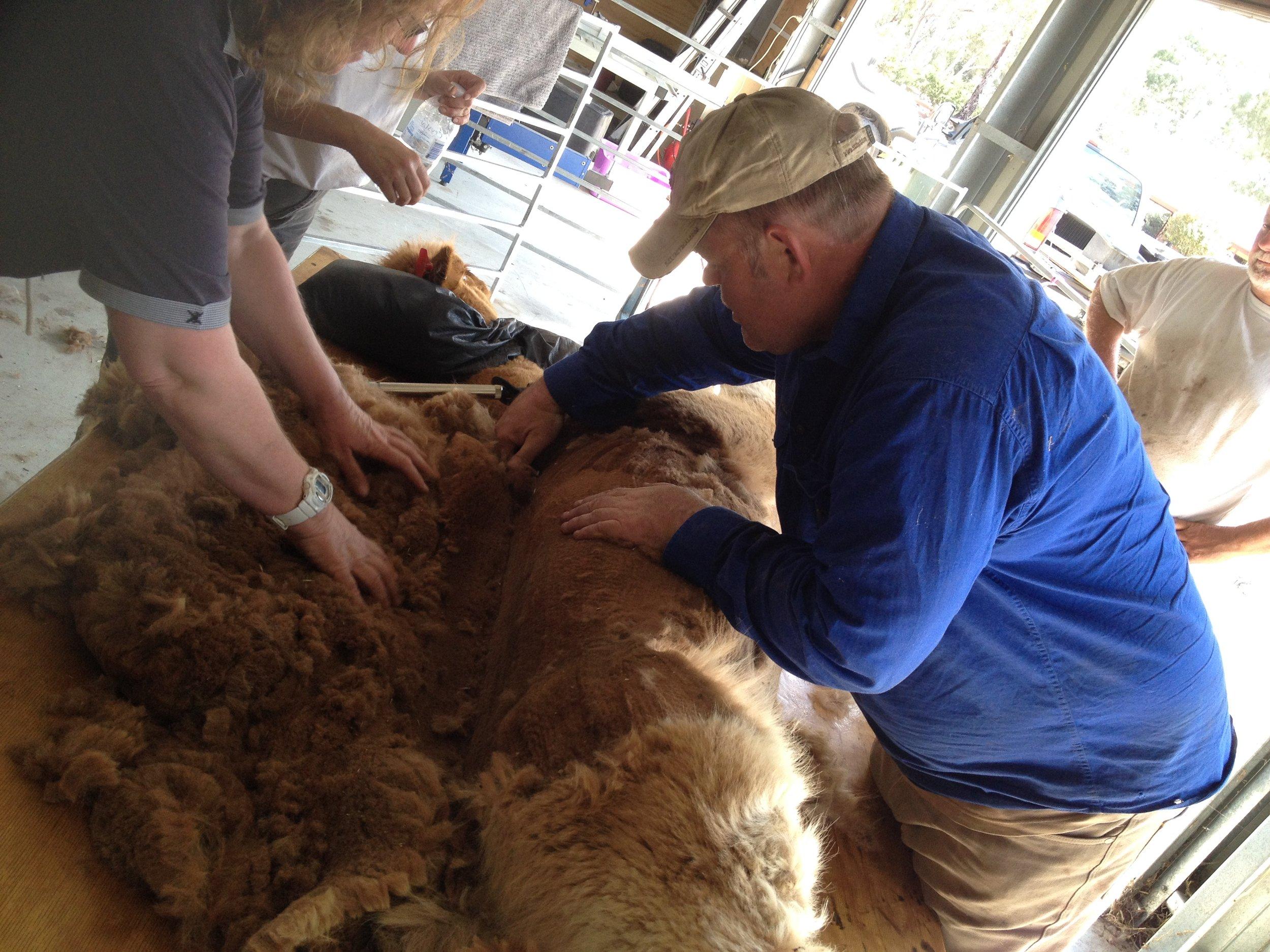 Visit My Farm Australia - Rosehaven Alpacas, Haven VIC
