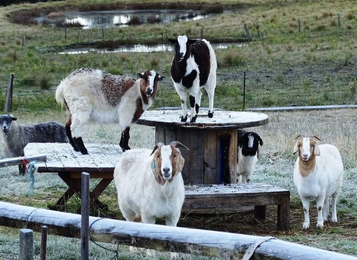 Our goats in winter.jpg