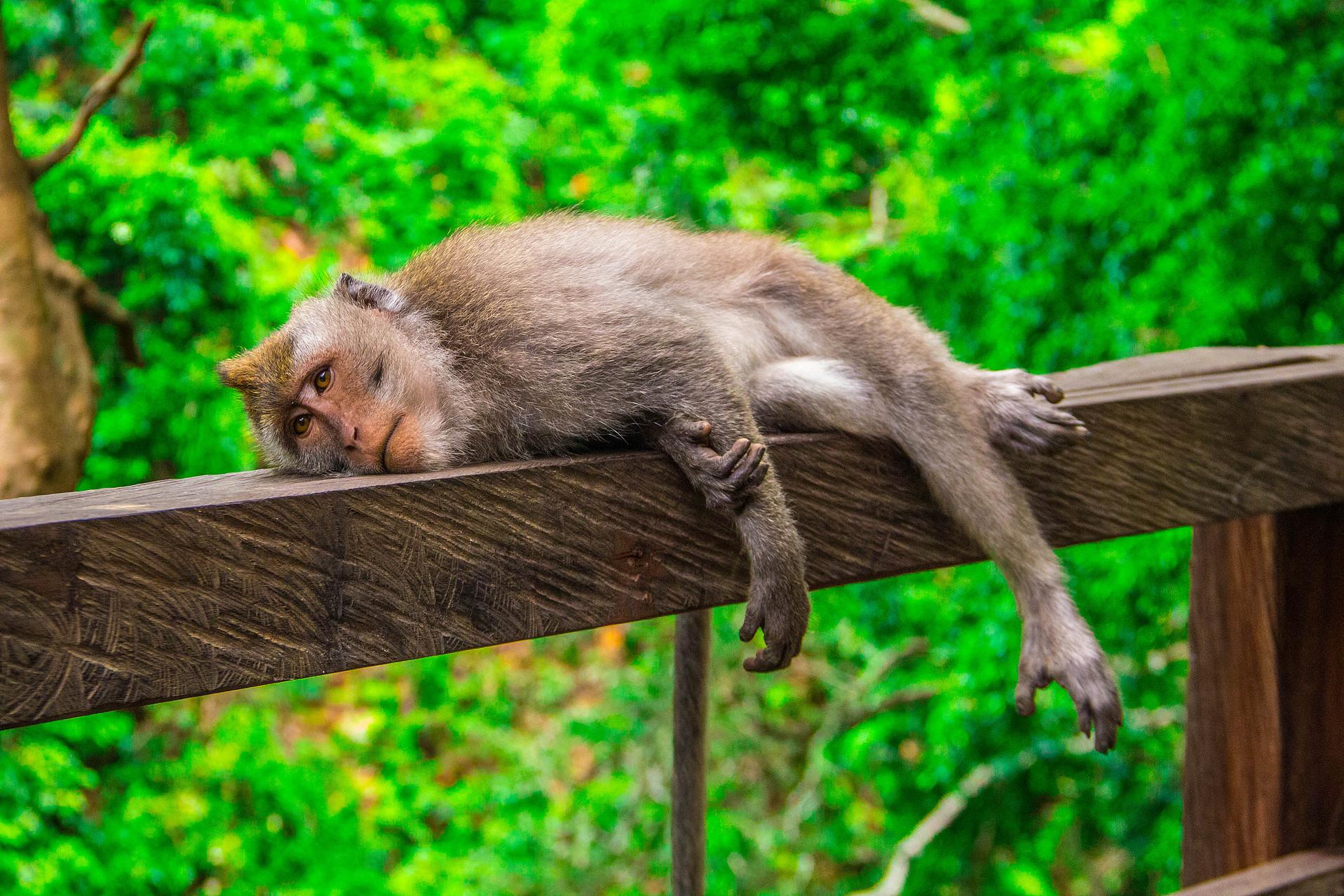 City Park Monkeys | Animal Photography Launceston
