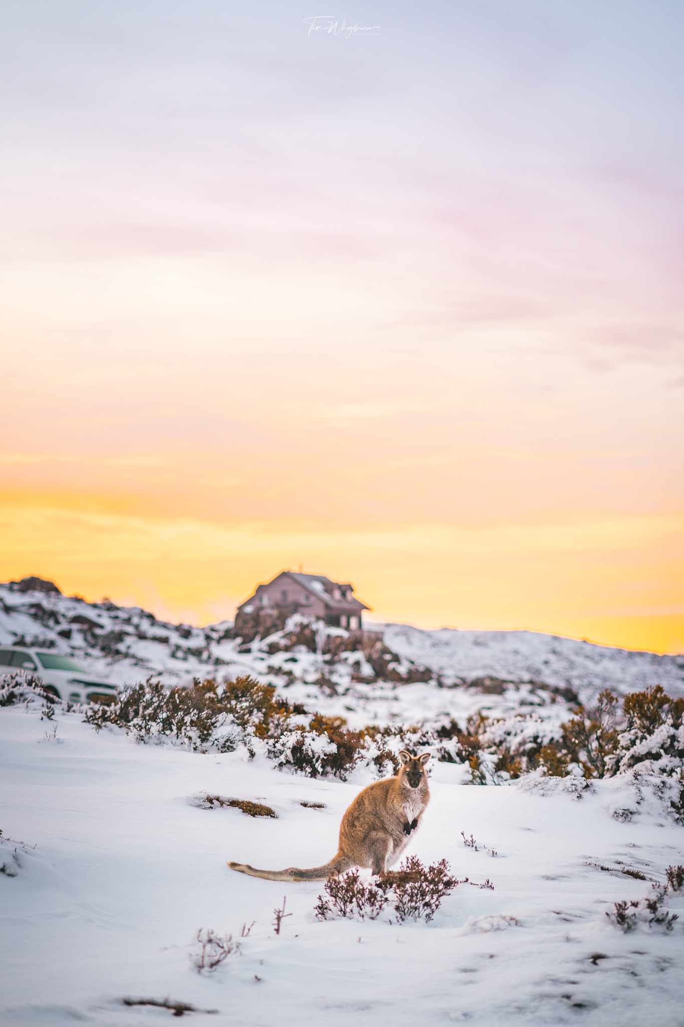 A kangaroo / wallaby crazing in the afternoon light on Ben Lomond.