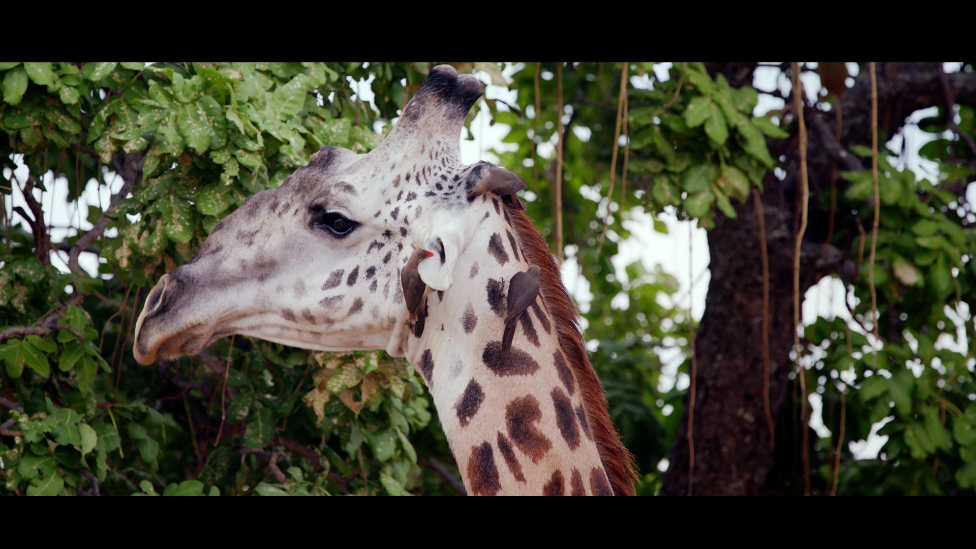 Giraffe 3 copy.png