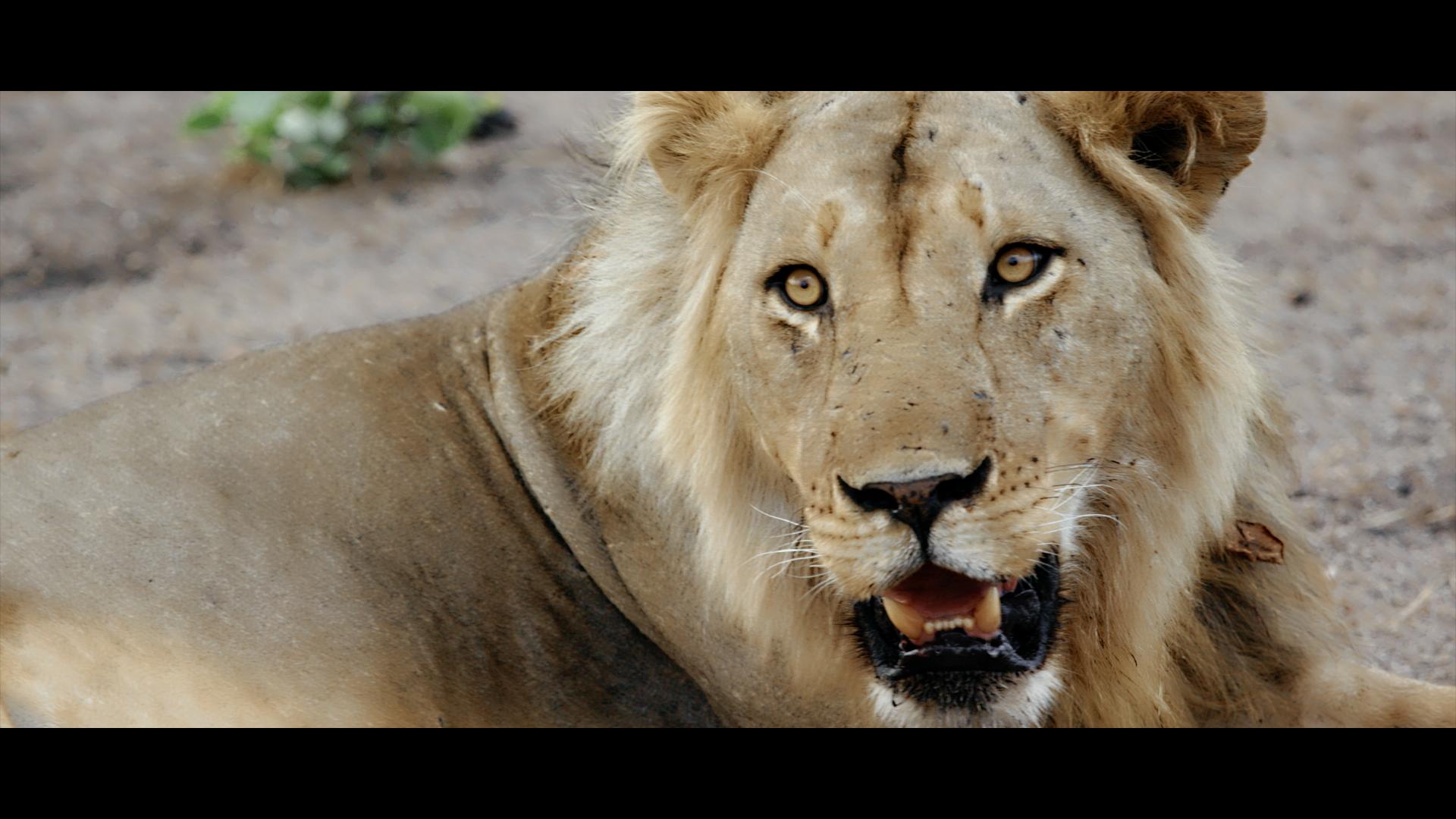 Nsefu Lion.png
