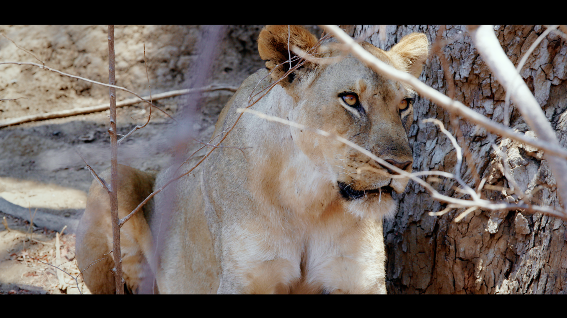 ZCP Lioness 2.png