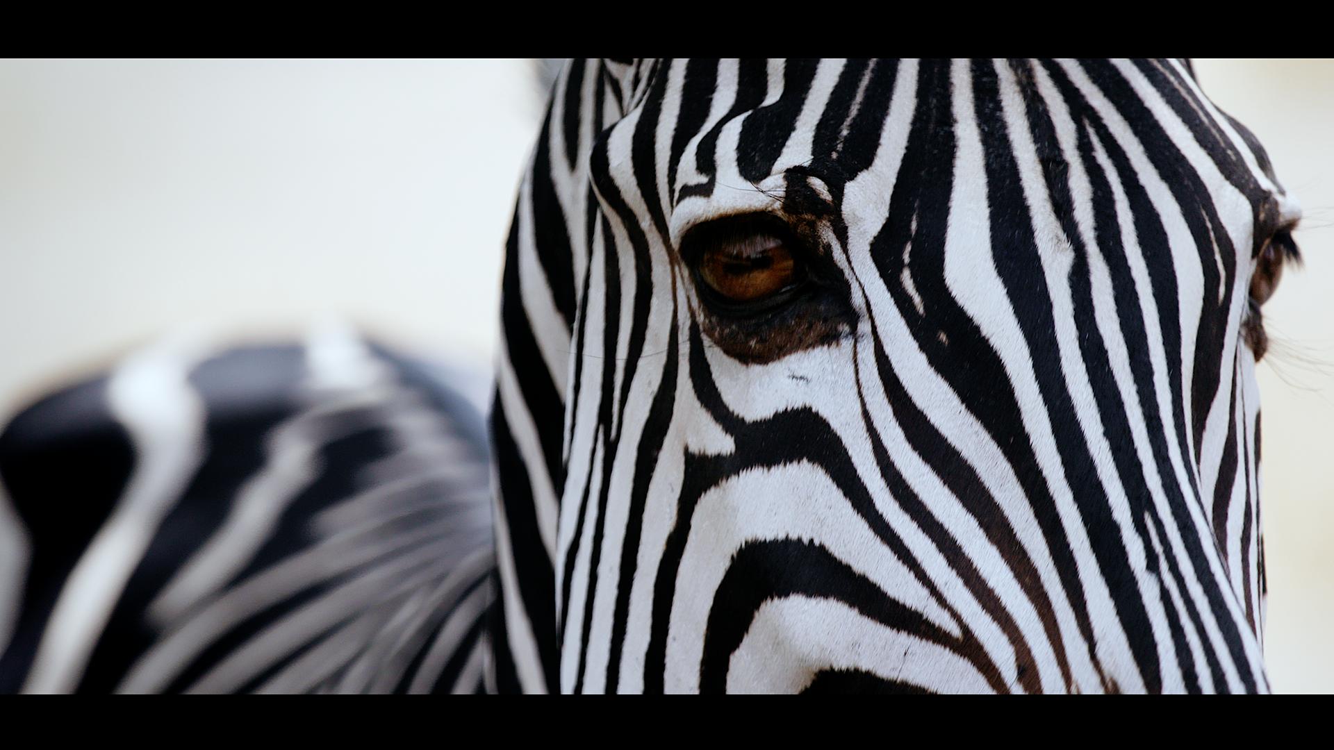 Zebra Face Mfuwe.png